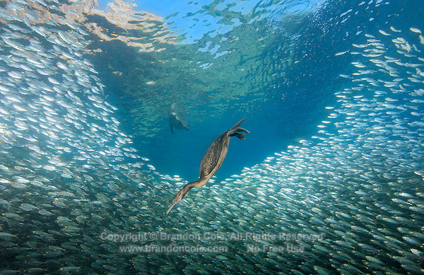 QT0348-D. cormorant (Phalacrocorax sp.) bird swimming underwater feeding on fish in a school of Bigeye Scad (Selar crumenophthalmus). Baja, Mexico, Sea of Cortez, Pacific Ocean.<br /> Photo Copyright &copy; Brandon Cole. All rights reserved worldwide.  www.brandoncole.com