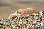 A Puma rests on a rocky hillside in Patagonia, Chile.