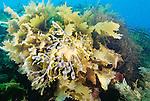 Leafy seadragon, South Australia, Australia