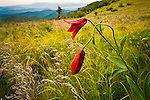 Gray's Lily (Lilium grayi S. Watson), threatened: North Carolina, Endangered: Tennessee,  Highlands of Roan, TN & NC