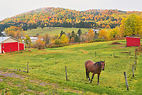 Horse, farmland and Acadian forest in autumn foliage. Near Edmunston. Madawaska County, Rolling hills. <br />