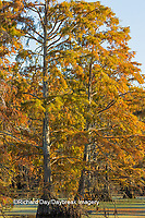 63895-14218 Baldcypress trees in fall, Horseshoe Lake State Fish and Wildlife Areas, Alexander Co., IL