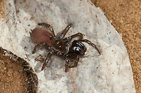 Gemeine Tapezierspinne, Tapezier-Spinne, Atypus affinis, Purseweb spider, Tapezierspinnen, Atypidae, atypical tarantulas, purseweb spiders