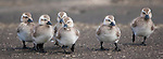 Upland goose goslings, Falkland Islands