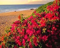 Bougainvillea along the shore, Makena Beach, Hawaii       Island of Maui