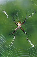 Silver Argiope, Argiope argentata, female in web, Willacy County, Rio Grande Valley, Texas, USA