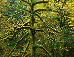 Silver Falls State Park, OR<br /> Big leaf maple (Acer macrophyllum) branches covered with moss
