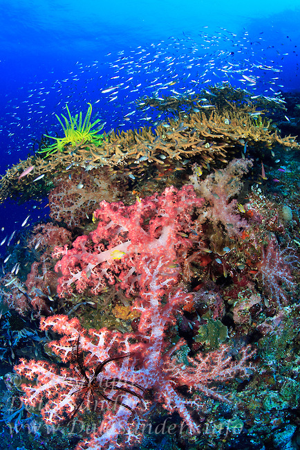 Colorful Crinoids decorate soft and hard corals on a coral reef off New Britain Island, Papua New Guinea