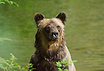 A wet grizzly bear after swimming in the creek eating salmon