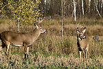 White-tailed buck(s) (Odocoileus virginianus) in fall