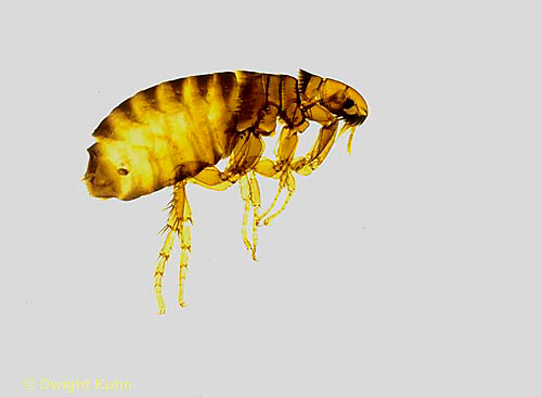 SG01-003x  Dog and Cat Flea - Ctenocephalides.