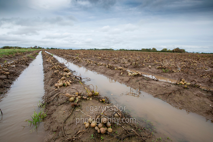 Potatoes with high percentafge of greens flooded following heavy rainfall - October, Lincolnshire; greens