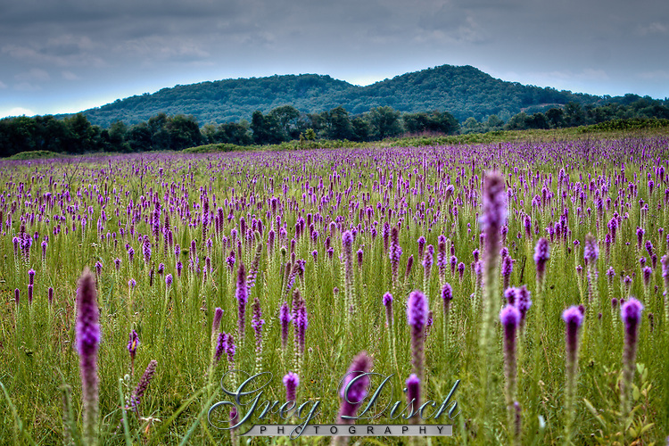 Cherokee Prairie Natural Area with large areas of Blazing Star turning the landscape purple.