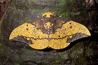 Moth; Eacles sp., Jorupe Reserve; Ecuador; Prov. Loja