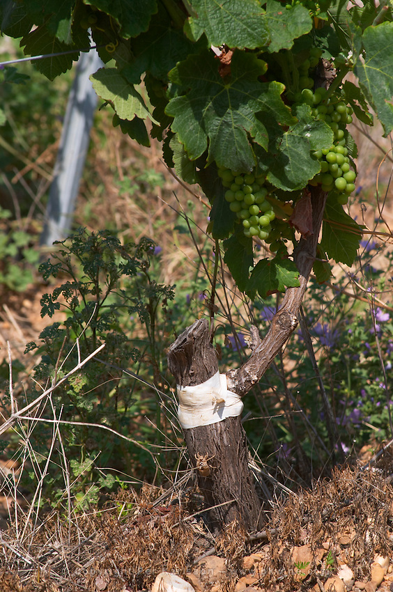 syrah field grafted on mourvedre one year ago mas du notaire rhone france