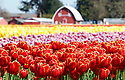 Red, purple and yellow Tulips are bursting with color at Tulip Town in Mount Vernon, WA. during the Skagit county annual Tulip festival.