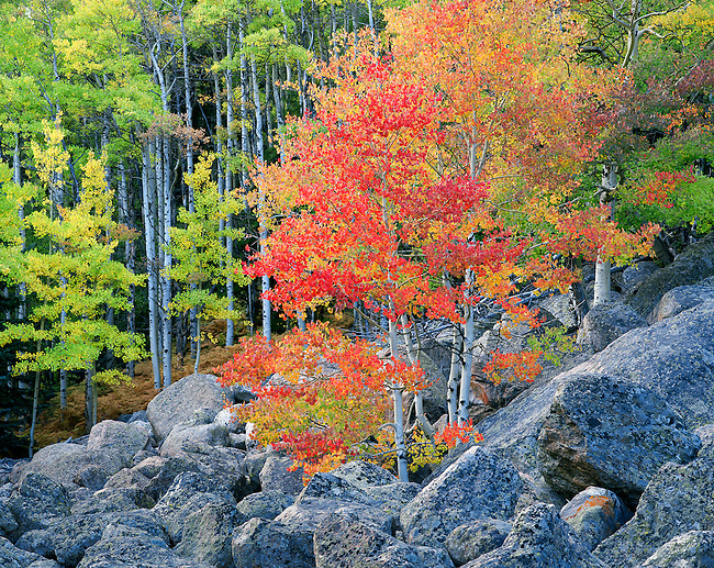 colorful fall aspen amid tumble of boulders in Rocky Mountain National Park, Colorado, USA