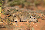 Brant's whistling rat, Parotomys brantsii, Kgalagadi Transfrontier Park, with young attached to teats, South Africa