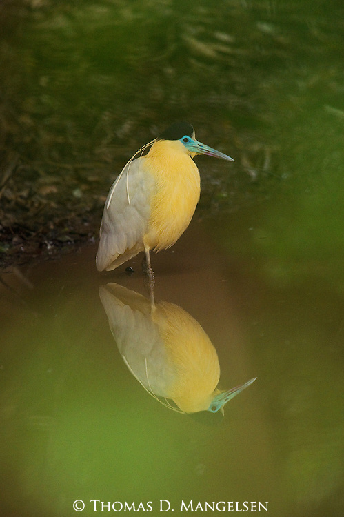 A capped heron standing in the water at sunset in the Pantanal, Mato Grosso, Brazil.