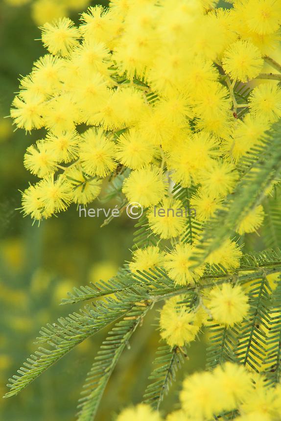Acacia decurrens 'Latifolia', mimosa décurrent 'Latifolia' // Acacia decurrens 'Latifolia' , Acacia bark 'Latifolia' , Early black wattle 'Latifolia' , Green wattle 'Latifolia' , Sydney wattle 'Latifolia' , Wattle bark 'Latifolia'