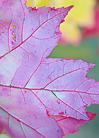 A Maple leaf shows off its autumn color and veining, Hiawatha National Forest, Alger County, Michigan