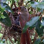 Female cardinal feeding her chicks.