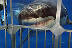 Great White Shark attacking a shark cage (Carcharodon carcharias), Guadalupe Island, Mexico.