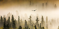 Raven flies through spruce trees in the morning fog, Denali National Park, interior, Alaska.