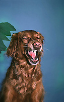 Irish Setter dog makes an amazing and funny face, Midwest USA