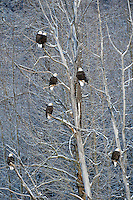 Bald eagles, Chilkat Bald Eagle Preserve, Alaska, USA