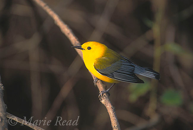 Prothonotary Warbler (Prothonotaria citrea) male in breeding plumage, Arkansas, USA<br /> Slide # B161-409