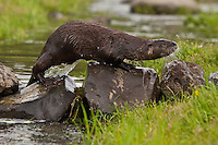 River Otter climbing out of the water over some boulders - CA