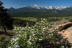 Thimbleberry, Rubacer parviflorum, pondeosa pine, Front Range, peaks, blue sky, montane, forest, spring, morning, Rocky Mountain National Park, Colorado, Rocky Mountains, USA