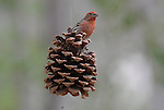 finch on pine cone