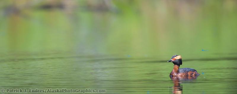 Horned Grebe in tundra pond, Fairbanks, Alaska