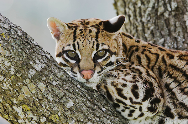 Ocelot, Felis pardalis, captive, female resting on mesquite tree, Welder Wildlife Refuge, Sinton, Texas, USA, Oktober 2006