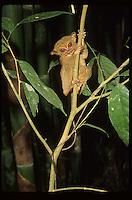 Philippine Tarsier; Tarsius syrichtus; Philippines, Mindanao
