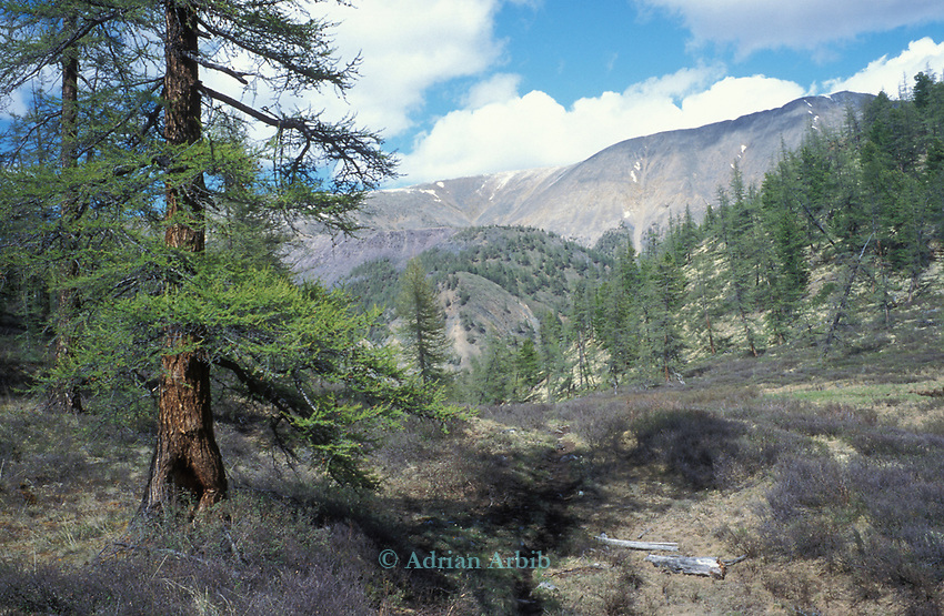 The Taijga forest.  Northern outer Mongolia Russian border.