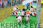 Pig racing in the Ballyheigue GAA field on Thursday.