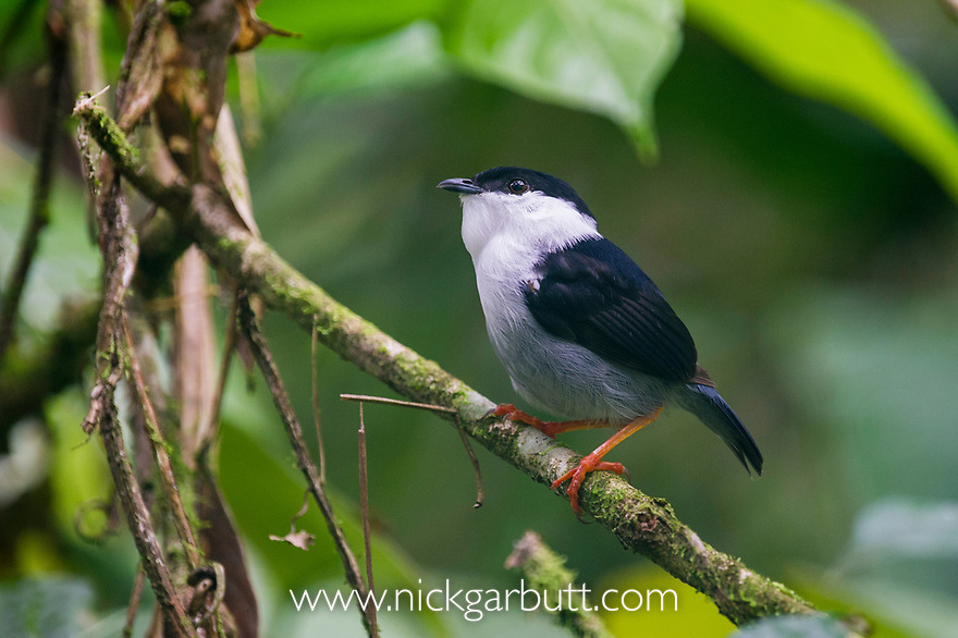 White-bearded Manakin (Manacus manacus interior) in forest understorey. Bavaria Private Reserve near Villavicencio, lower eastern slopes of the Andes, Colombia.