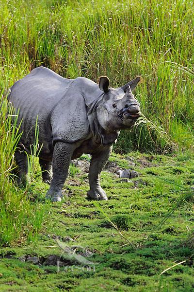 Greater Indian Rhinoceros or Asian One-horned Rhinoceros (Rhinoceros unicornis), Kaziranga National Park, India.