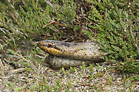 Smooth Snake Coronella austriaca Length 50-70cm Rare snake with vaguely viperine markings. Pupil is rounded (vertical slit in Adder). Sunbathes but typically partially hidden. Hibernates October-April. Diet includes other reptiles. Sexes are similar. Adult has slender body but relatively large head; scales are satiny smooth. Overall ground colour ranges from bluish grey to reddish brown. Has darkish spots along length, sometimes combining to form Adder-like zigzag. Head has dark patch; posterior margin is sometimes rather V-shaped. From side, note dark eye stripe. Juvenile is similar but has spots along flanks. In Britain, restricted to mature heathland with bushy Heather (Calluna vulgaris). Rare because of habitat loss, inappropriate heathland management and fires.