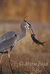 Great Blue Heron (Ardea herodias) catching a large fish, Bosque Del Apache National Wildlife Refuge, New Mexico, USA<br /> Slide # B17-295