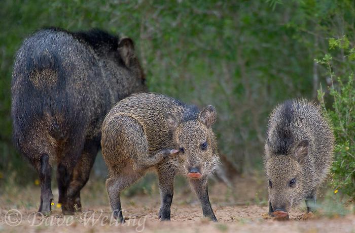 650520300 wild javelinas or collared peccaries dicolytes tajacu forage near a waterhole on santa clara ranch in starr county rio grande valley texas united states