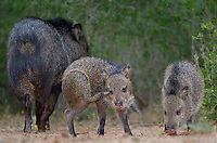 650520300 wild javelinas or collared peccaries dicolytes tajacu forage near a waterhole on santa clara ranch in starr county rio grande valley texas united states