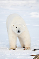 01874-12019 Polar Bear (Ursus maritimus) in winter in Churchill Wildlife Management Area, Churchill, MB Canada