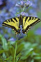 Western Tiger Swallowtail Butterfly (Papilio rutulus) on penstemon wildflower.  Western U.S.