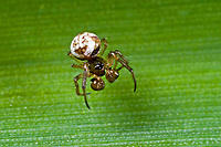Zwergradnetzspinne, Zwergkreuzspinne, Zwerg-Radnetzspinne, Zwerg-Kreuzspinne, Männchen, Theridiosoma gemmosum, ray spider, male, Zwergradnetzspinnen, Theridiosomatidae,  ray spiders