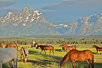 Horses, Grand Tetons, Wranglers round up the ramuda for a days work on the Triangle X Guest Ranch in Jakcson Hole Wyoming.