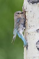 Mountain Bluebird - Sialia currucoides - female